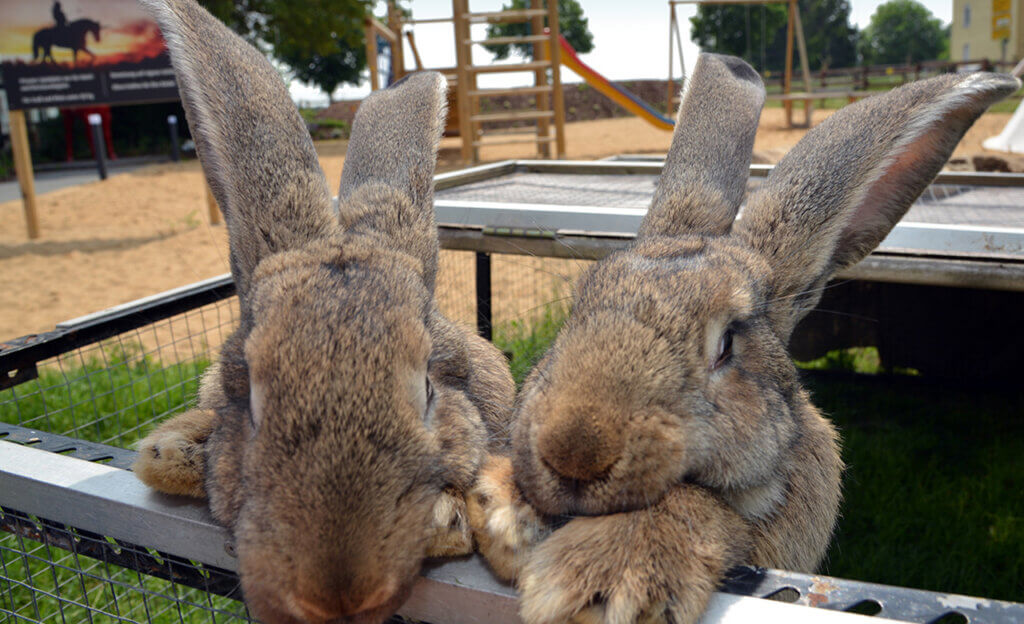 Riesen Kaninchen im Hotel Restaurant Rotes Einhorn Düren